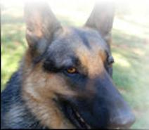 Smokey an Altered German Shepherd